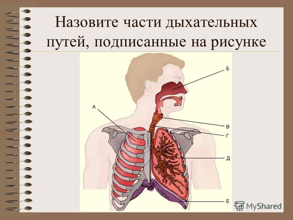 Назовите части дыхательных путей, подписанные на рисунке