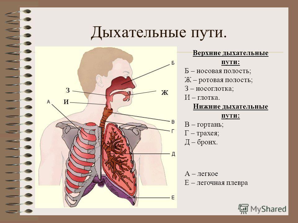 Дыхательные пути. Верхние дыхательные пути: Б – носовая полость; Ж – ротовая полость; З – носоглотка; И – глотка. Нижние дыхательные пути: В – гортань; Г – трахея; Д – бронх. ж з и А – легкое Е – легочная плевра