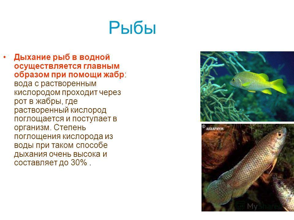 Рыбы Дыхание рыб в водной осуществляется главным образом при помощи жабр: вода с растворенным кислородом проходит через рот в жабры, где растворенный кислород поглощается и поступает в организм. Степень поглощения кислорода из воды при таком способе