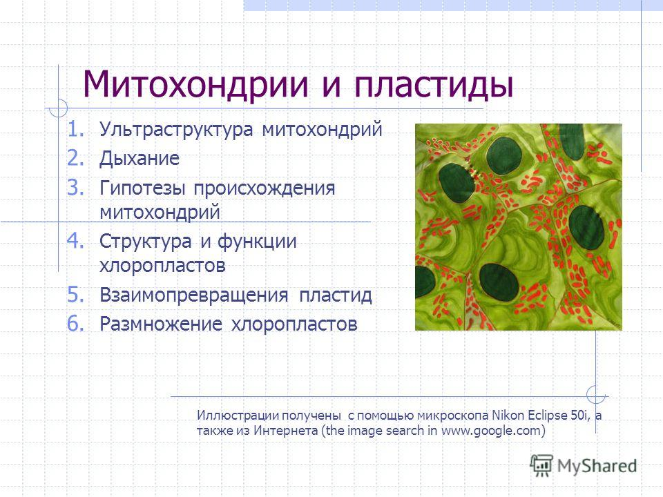 Митохондрии и пластиды Иллюстрации получены с помощью микроскопа Nikon Eclipse 50i, а также из Интернета (the image search in www.google.com) 1. Ультраструктура митохондрий 2. Дыхание 3. Гипотезы происхождения митохондрий 4. Структура и функции хлоро