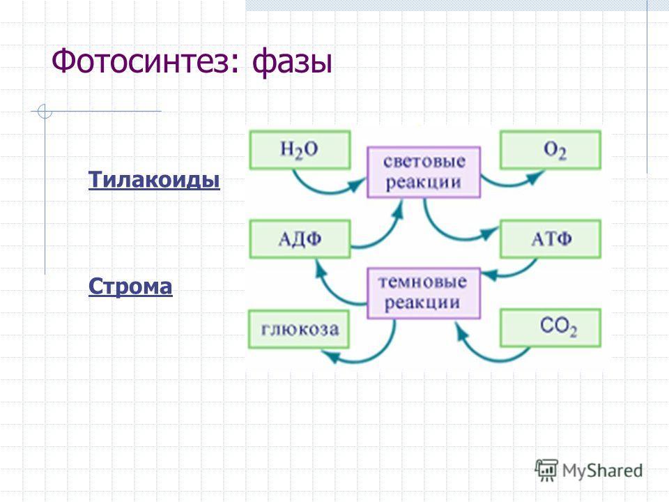 Фотосинтез: фазы Тилакоиды Строма