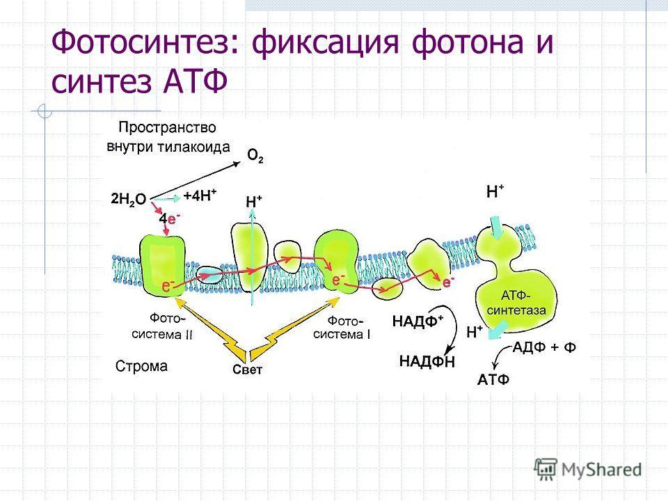 Фотосинтез: фиксация фотона и синтез АТФ