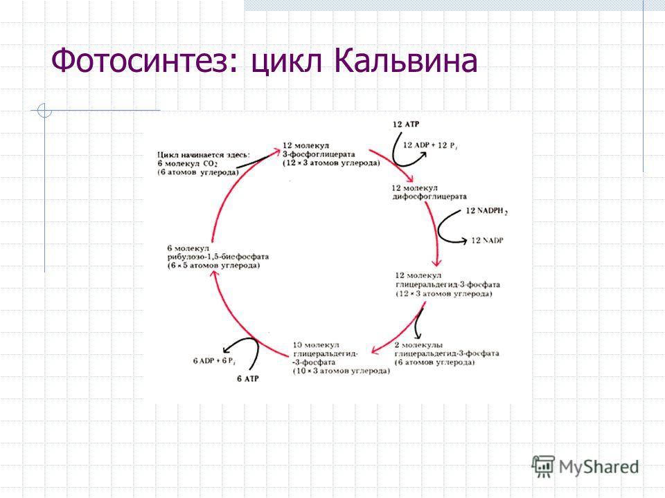 Фотосинтез: цикл Кальвина