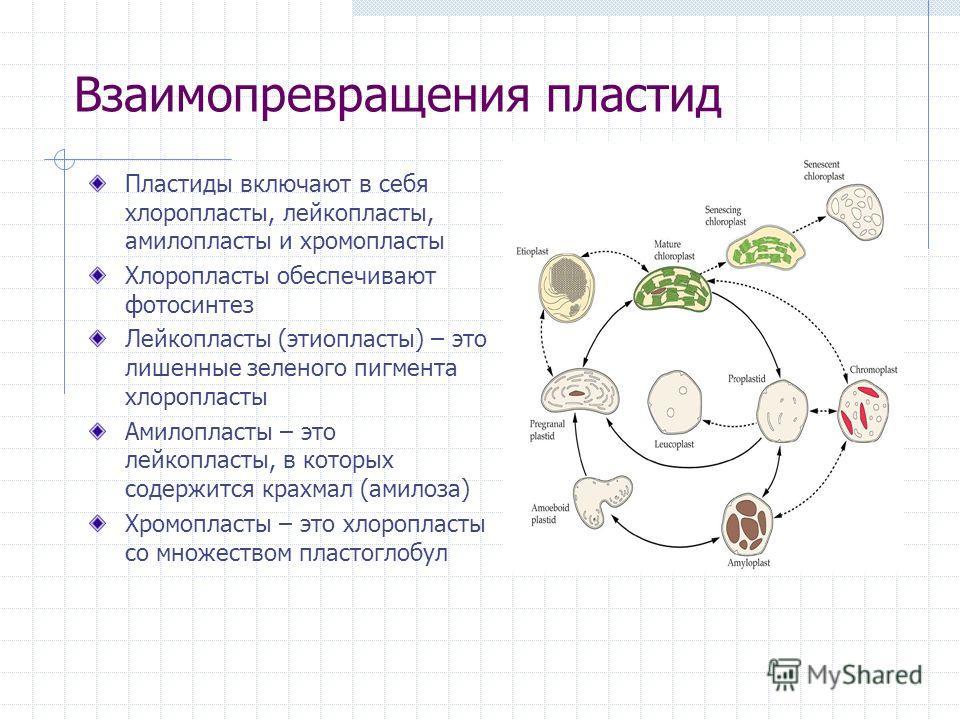Взаимопревращения пластид Пластиды включают в себя хлоропласты, лейкопласты, амилопласты и хромопласты Хлоропласты обеспечивают фотосинтез Лейкопласты (этиопласты) – это лишенные зеленого пигмента хлоропласты Aмилопласты – это лейкопласты, в которых
