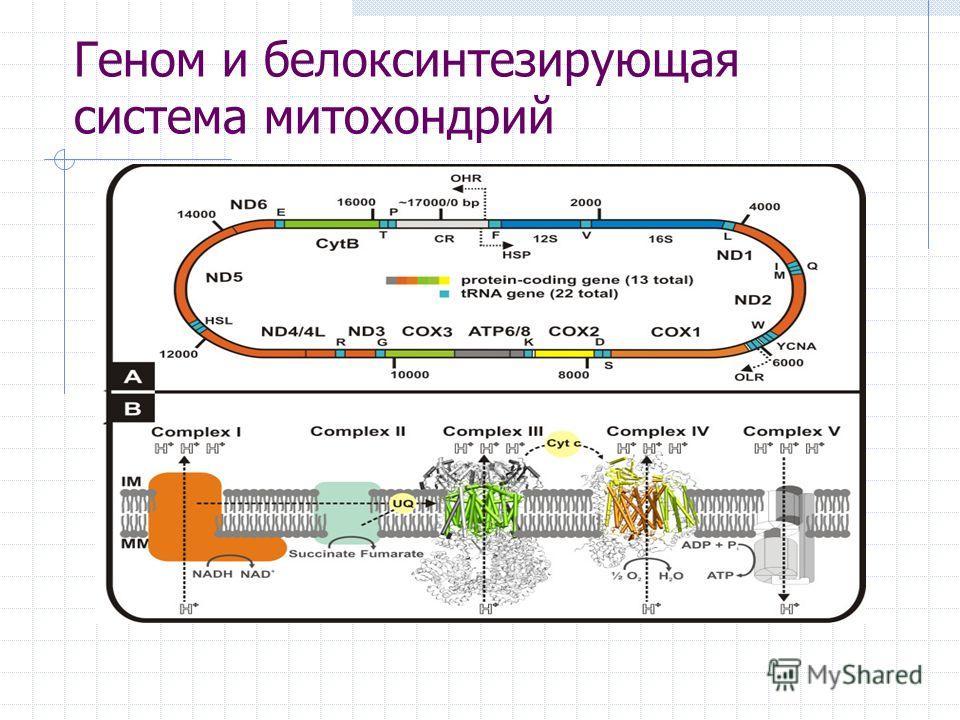 Геном и белоксинтезирующая система митохондрий