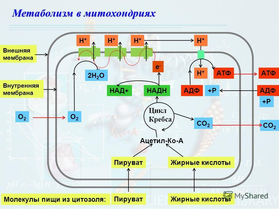 Метаболизм в митохондриях O2O2 O2O2 ПируватЖирные кислоты Молекулы пищи из цитозоля: ПируватЖирные кислоты Ацетил-Ко-А Цикл Кребса СO2СO2 СO2СO2 НАДННАД+ е-е- 2Н 2 O Н+Н+ Н+Н+ Н+Н+ Н+Н+ Н+Н+ АДФ АТФ +РАДФ +Р Внешняя мембрана Внутренняя мембрана