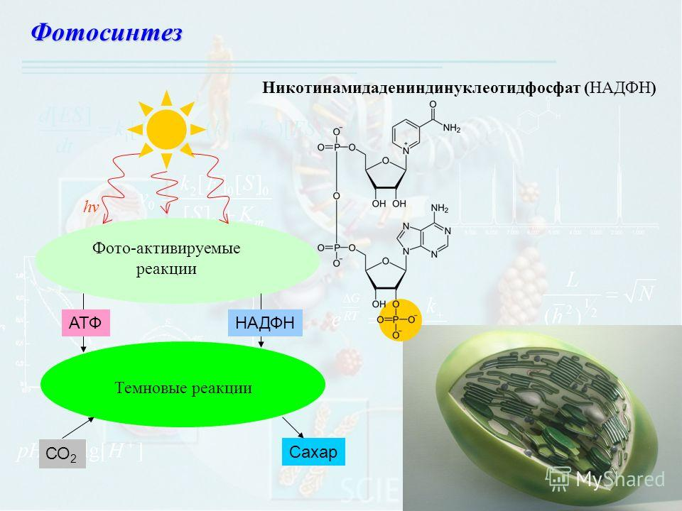 Фотосинтез Никотинамидадениндинуклеотидфосфат (НАДФН) СО 2 Сахар НАДФН АТФ Фото-активируемые реакции Темновые реакции hv