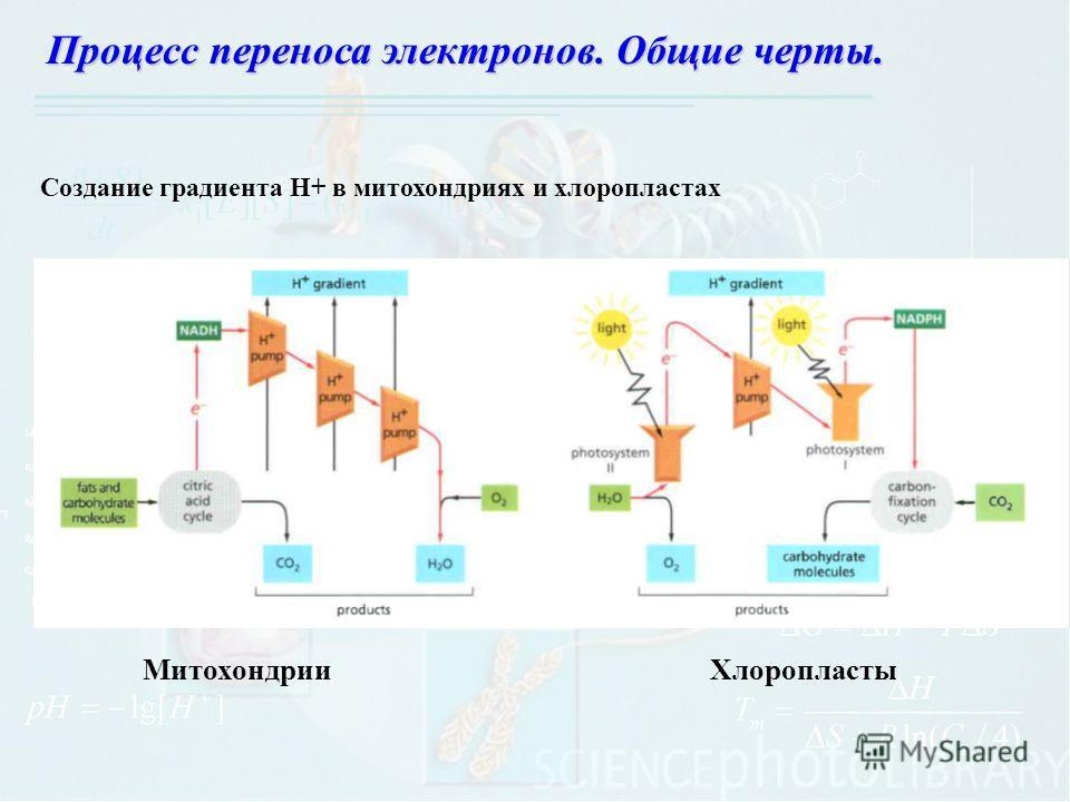 Процесс переноса электронов. Общие черты. Митохондрии Хлоропласты Создание градиента H+ в митохондриях и хлоропластах