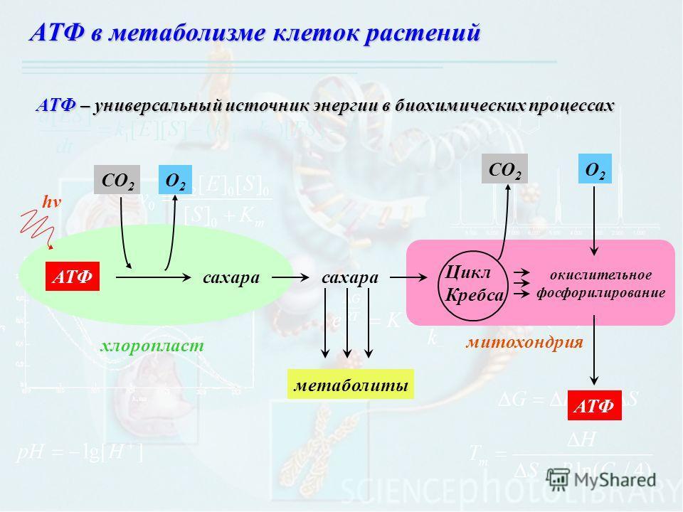 хлоропласт митохондрия hv АТФсахара СО 2 О2О2 сахара метаболиты СО 2 О2О2 АТФ окислительное фосфорилирование Цикл Кребса АТФ в метаболизме клеток растений АТФ – универсальный источник энергии в биохимических процессах