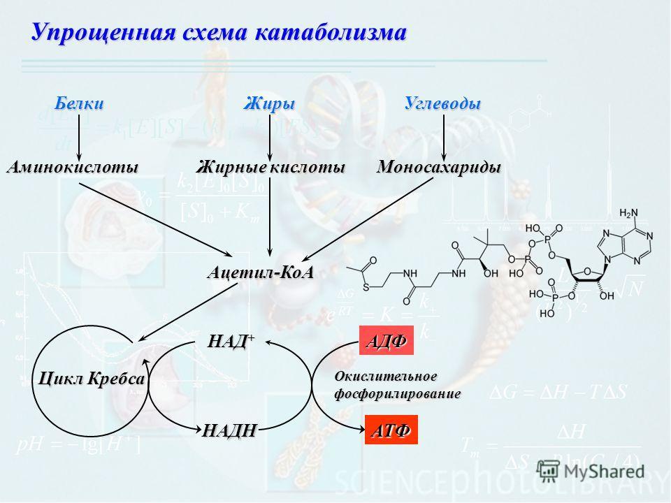 Упрощенная схема катаболизма БелкиЖирыУглеводыАминокислоты Жирные кислоты Моносахариды Ацетил-КоА Цикл Кребса НАД + НАДН АДФ АТФ Окислительное фосфорилирование