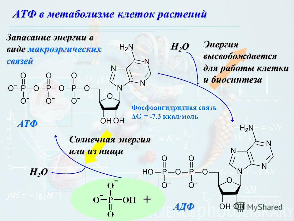 АТФ в метаболизме клеток растений АТФ АДФ H2OH2OH2OH2O H2OH2OH2OH2O + Солнечная энергия или из пищи Энергия высвобождается для работы клетки и биосинтеза Запасание энергии в виде макроэргических связей Фосфоангидридная связь ΔG = -7.3 ккал/моль