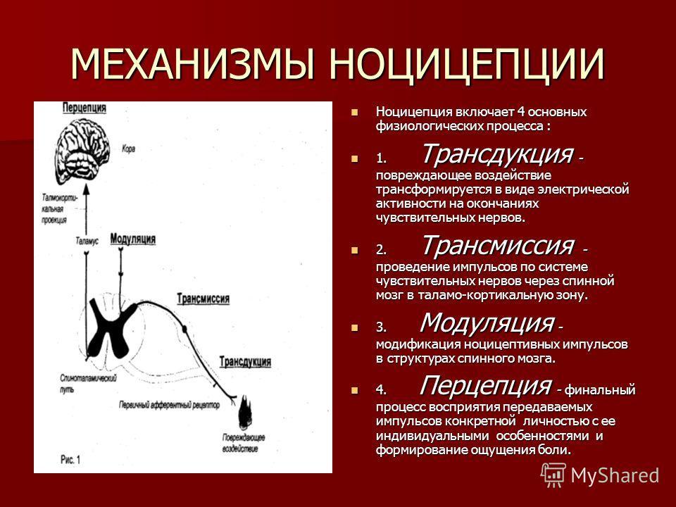 МЕХАНИЗМЫ НОЦИЦЕПЦИИ Ноцицепция включает 4 основных физиологических процесса : Ноцицепция включает 4 основных физиологических процесса : 1. Трансдукция - повреждающее воздействие трансформируется в виде электрической активности на окончаниях чувствит