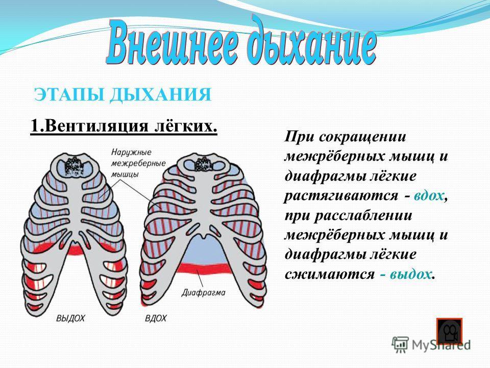 1.Вентиляция лёгких. ЭТАПЫ ДЫХАНИЯ При сокращении межрёберных мышц и диафрагмы лёгкие растягиваются - вдох, при расслаблении межрёберных мышц и диафрагмы лёгкие сжимаются - выдох.