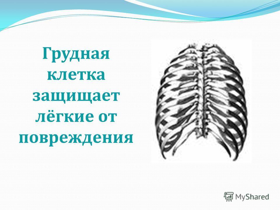 Грудная клетка защищает лёгкие от повреждения