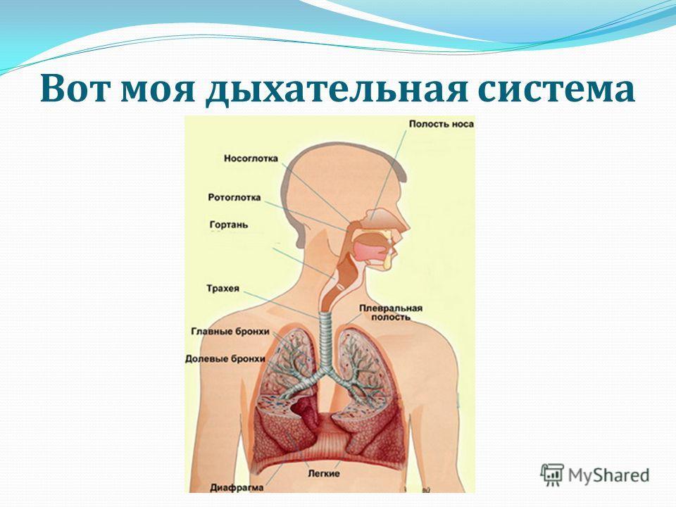 Вот моя дыхательная система