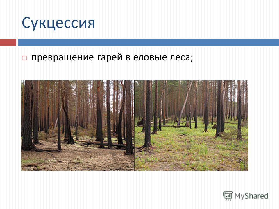 Сукцессия превращение гарей в еловые леса ;