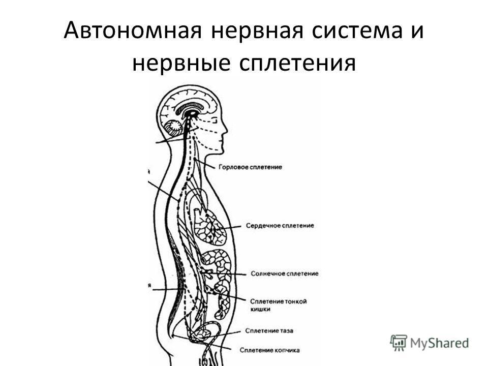 Автономная нервная система и нервные сплетения