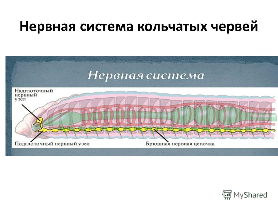 Нервная система кольчатых червей