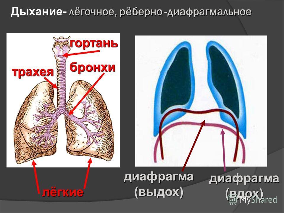 лёгочное, рёберно -диафрагмальное Дыхание- лёгочное, рёберно -диафрагмальноегортань трахея бронхи лёгкие диафрагма (выдох) диафрагма (вдох)