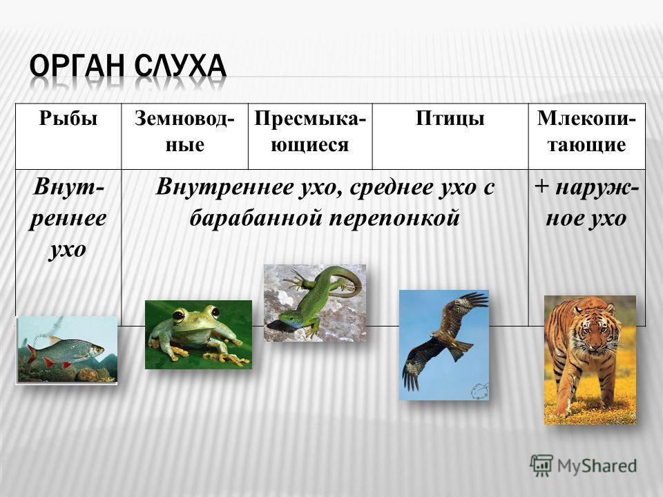 РыбыЗемновод- ные Пресмыка- ющиеся ПтицыМлекопи- тающие Внут- реннее ухо Внутреннее ухо, среднее ухо с барабанной перепонкой + наруж- ное ухо