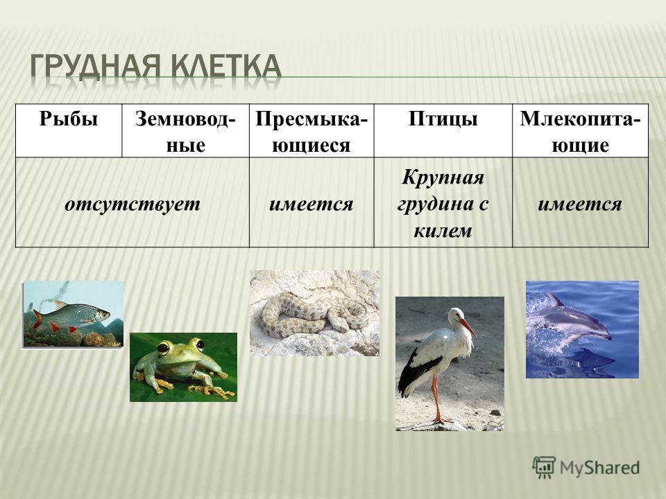 РыбыЗемновод- ные Пресмыка- ющиеся ПтицыМлекопита- ющие отсутствуетимеется Крупная грудина с килем имеется