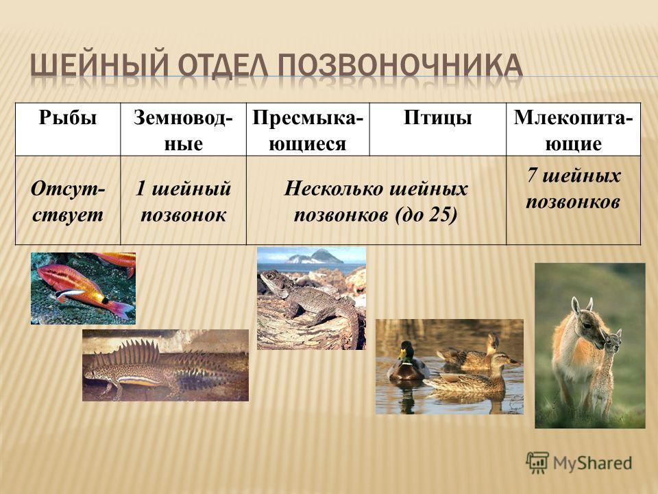 РыбыЗемновод- ные Пресмыка- ющиеся ПтицыМлекопита- ющие Отсут- ствует 1 шейный позвонок Несколько шейных позвонков (до 25) 7 шейных позвонков