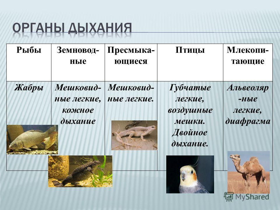 РыбыЗемновод- ные Пресмыка- ющиеся ПтицыМлекопи- тающие ЖабрыМешковид- ные легкие, кожное дыхание Мешковид- ные легкие. Губчатые легкие, воздушные мешки. Двойное дыхание. Альвеоляр -ные легкие, диафрагма