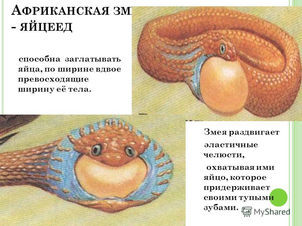 А ФРИКАНСКАЯ ЗМЕЯ - ЯЙЦЕЕД способна заглатывать яйца, по ширине вдвое превосходящие ширину её тела. Змея раздвигает эластичные челюсти, охватывая ими яйцо, которое придерживает своими тупыми зубами.