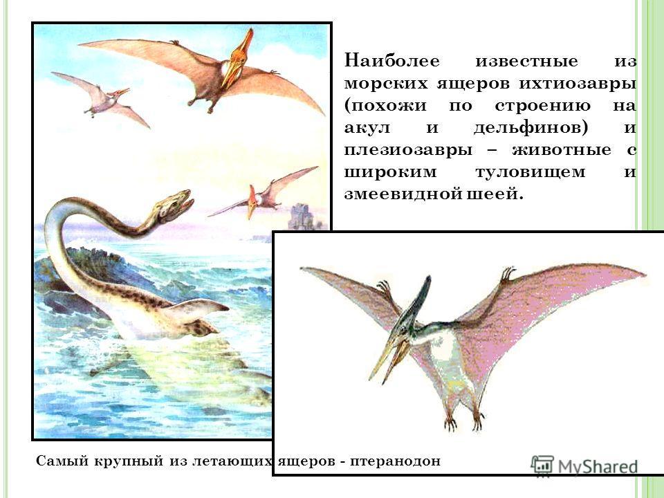 Самый крупный из летающих ящеров - птеранодон Наиболее известные из морских ящеров ихтиозавры (похожи по строению на акул и дельфинов) и плезиозавры – животные с широким туловищем и змеевидной шеей.