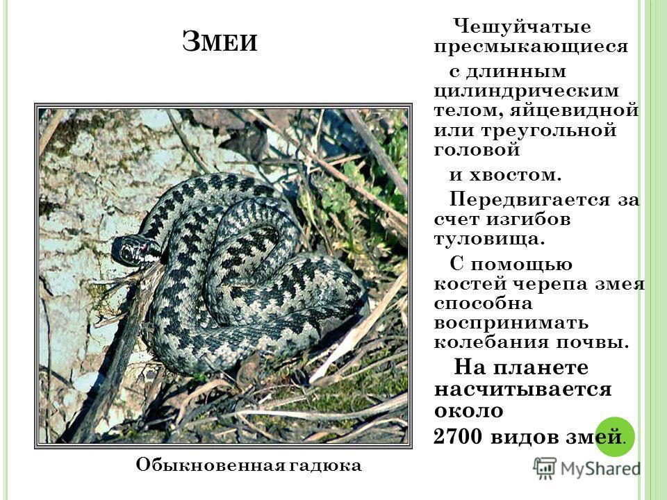 З МЕИ Обыкновенная гадюка Чешуйчатые пресмыкающиеся с длинным цилиндрическим телом, яйцевидной или треугольной головой и хвостом. Передвигается за счет изгибов туловища. С помощью костей черепа змея способна воспринимать колебания почвы. На планете н