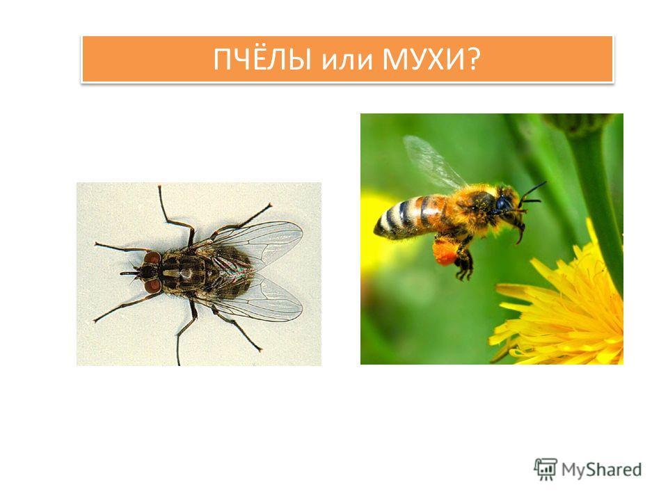 ПЧЁЛЫ или МУХИ?