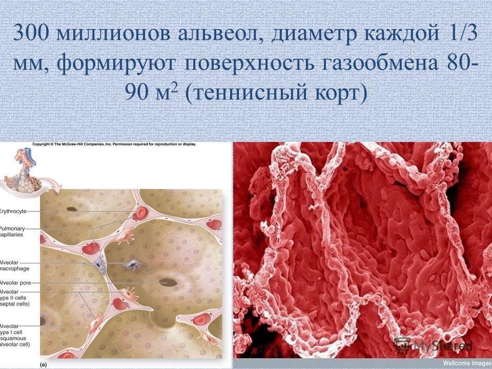 300 миллионов альвеол, диаметр каждой 1/3 мм, формируют поверхность газообмена 80- 90 м 2 (теннисный корт)