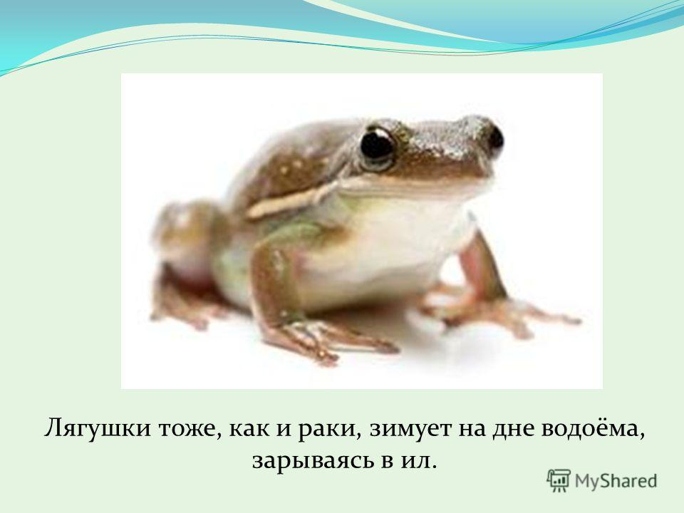 Лягушки тоже, как и раки, зимует на дне водоёма, зарываясь в ил.