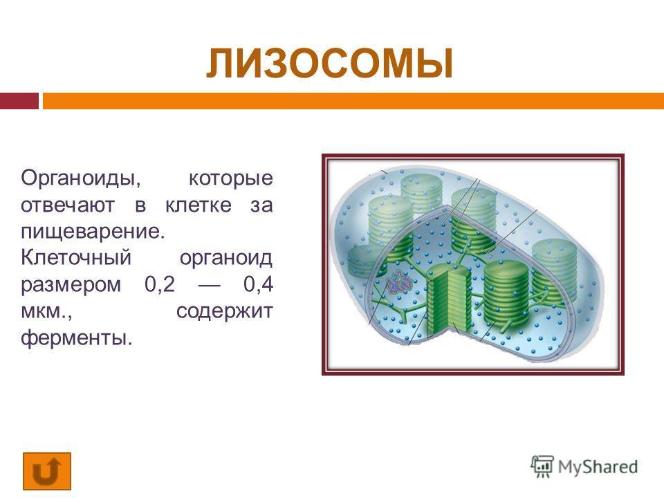 ЛИЗОСОМЫ Органоиды, которые отвечают в клетке за пищеварение. Клеточный органоид размером 0,2 0,4 мкм., содержит ферменты.