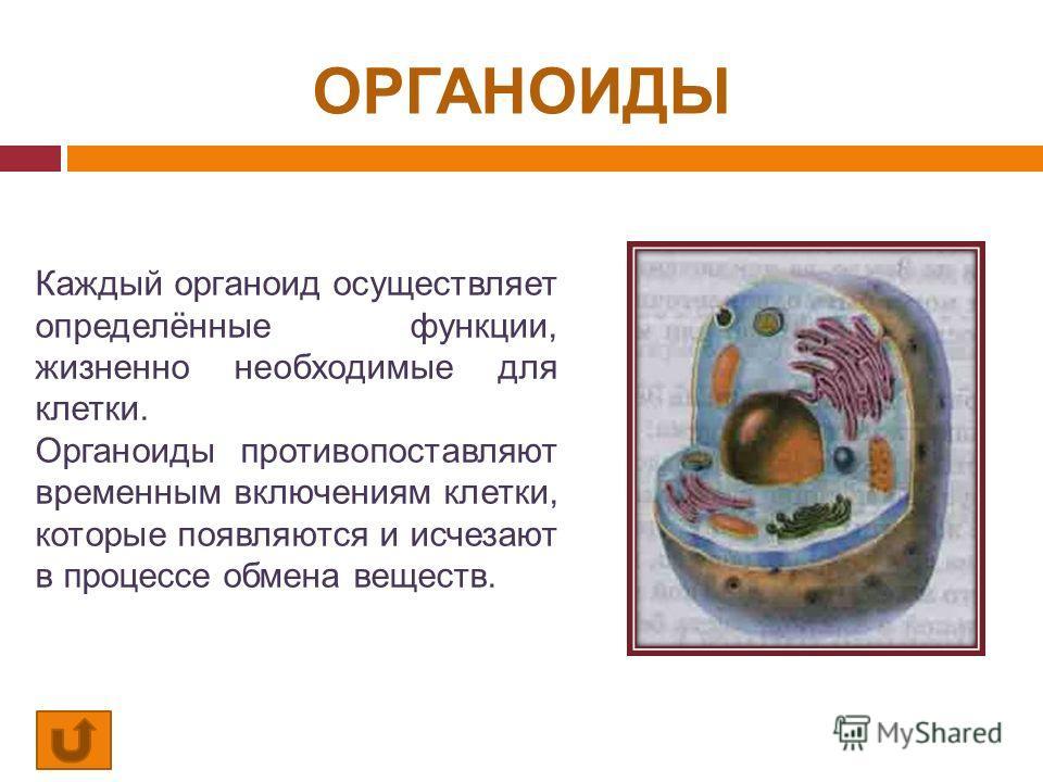ОРГАНОИДЫ Каждый органоид осуществляет определённые функции, жизненно необходимые для клетки. Органоиды противопоставляют временным включениям клетки, которые появляются и исчезают в процессе обмена веществ.