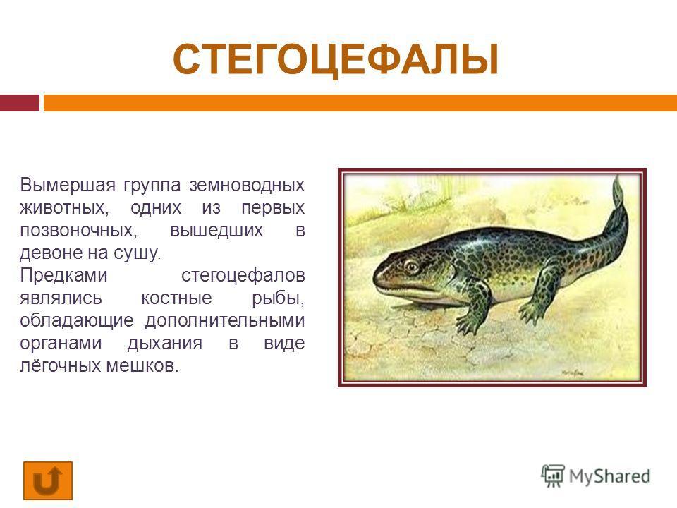 СТЕГОЦЕФАЛЫ Вымершая группа земноводных животных, одних из первых позвоночных, вышедших в девоне на сушу. Предками стегоцефалов являлись костные рыбы, обладающие дополнительными органами дыхания в виде лёгочных мешков.