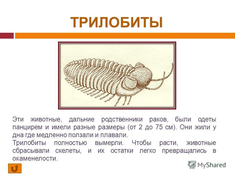 ТРИЛОБИТЫ Эти животные, дальние родственники раков, были одеты панцирем и имели разные размеры (от 2 до 75 см). Они жили у дна где медленно ползали и плавали. Трилобиты полностью вымерли. Чтобы расти, животные сбрасывали скелеты, и их остатки легко п