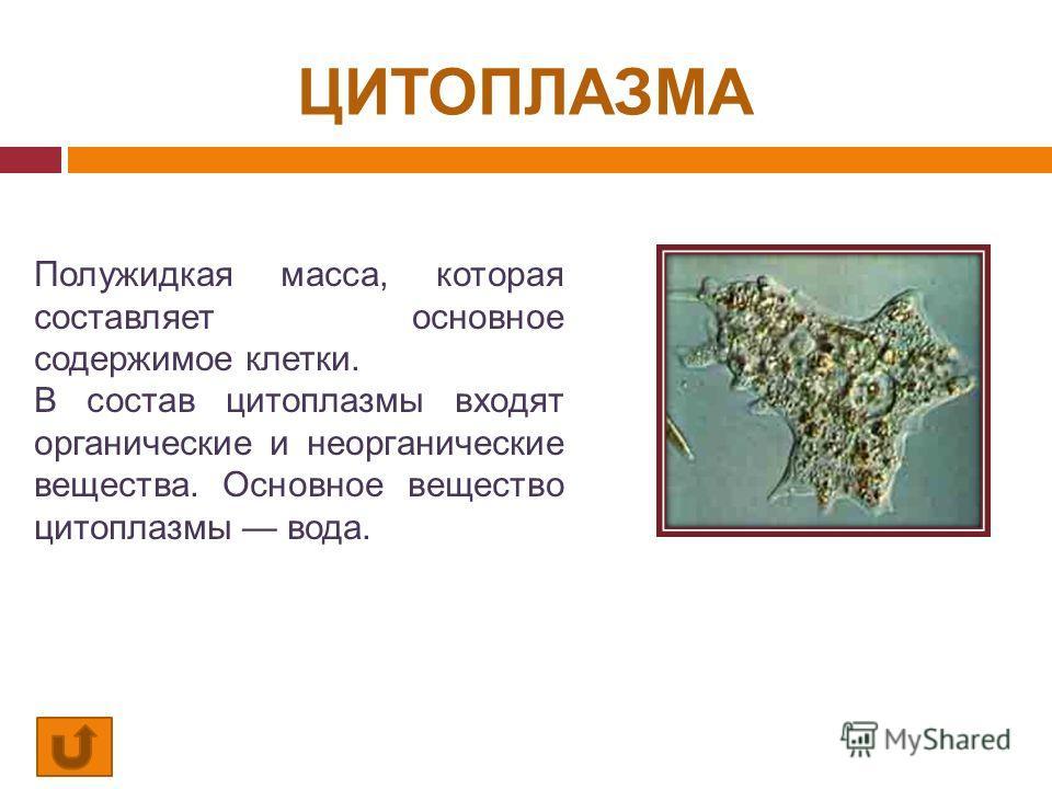 ЦИТОПЛАЗМА Полужидкая масса, которая составляет основное содержимое клетки. В состав цитоплазмы входят органические и неорганические вещества. Основное вещество цитоплазмы вода.