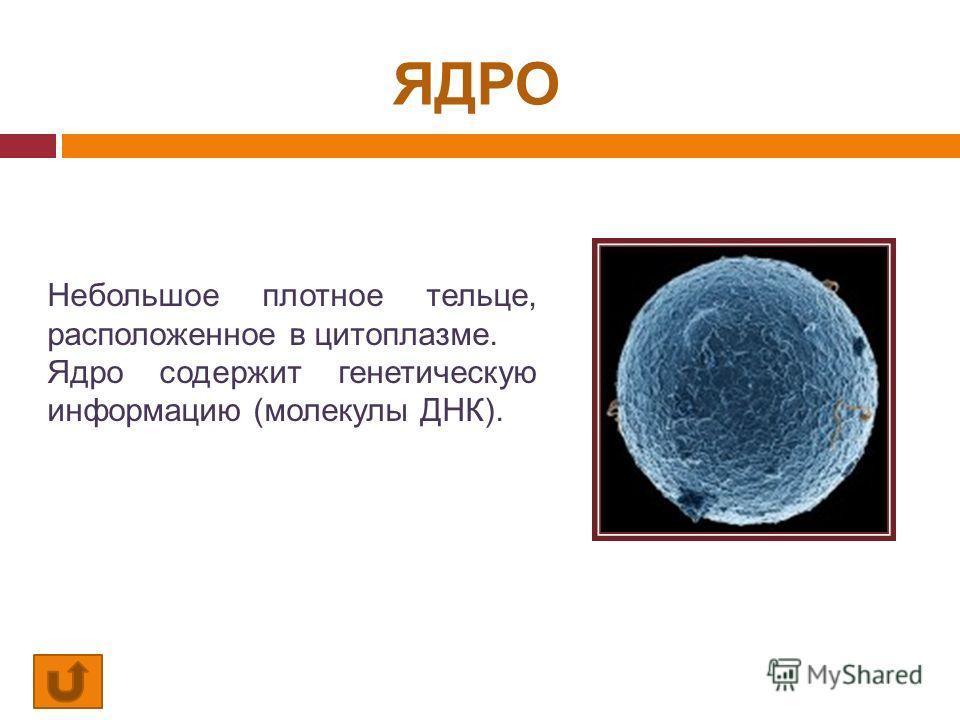 ЯДРО Небольшое плотное тельце, расположенное в цитоплазме. Ядро содержит генетическую информацию (молекулы ДНК).