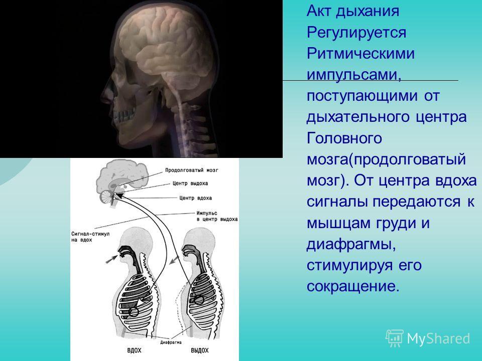 Акт дыхания Регулируется Ритмическими импульсами, поступающими от дыхательного центра Головного мозга(продолговатый мозг). От центра вдоха сигналы передаются к мышцам груди и диафрагмы, стимулируя его сокращение.