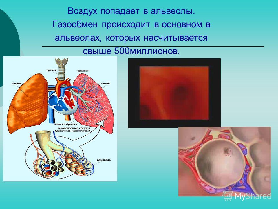 Воздух попадает в альвеолы. Газообмен происходит в основном в альвеолах, которых насчитывается свыше 500миллионов.