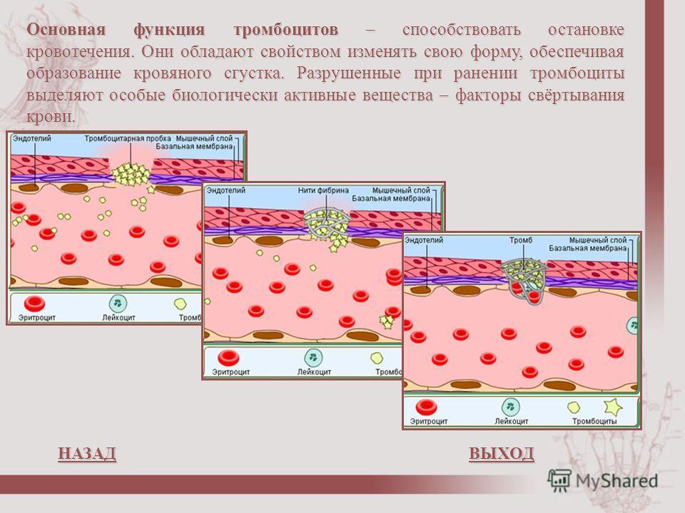 Основная функция тромбоцитов – способствовать остановке кровотечения. Они обладают свойством изменять свою форму, обеспечивая образование кровяного сгустка. Разрушенные при ранении тромбоциты выделяют особые биологически активные вещества – факторы с