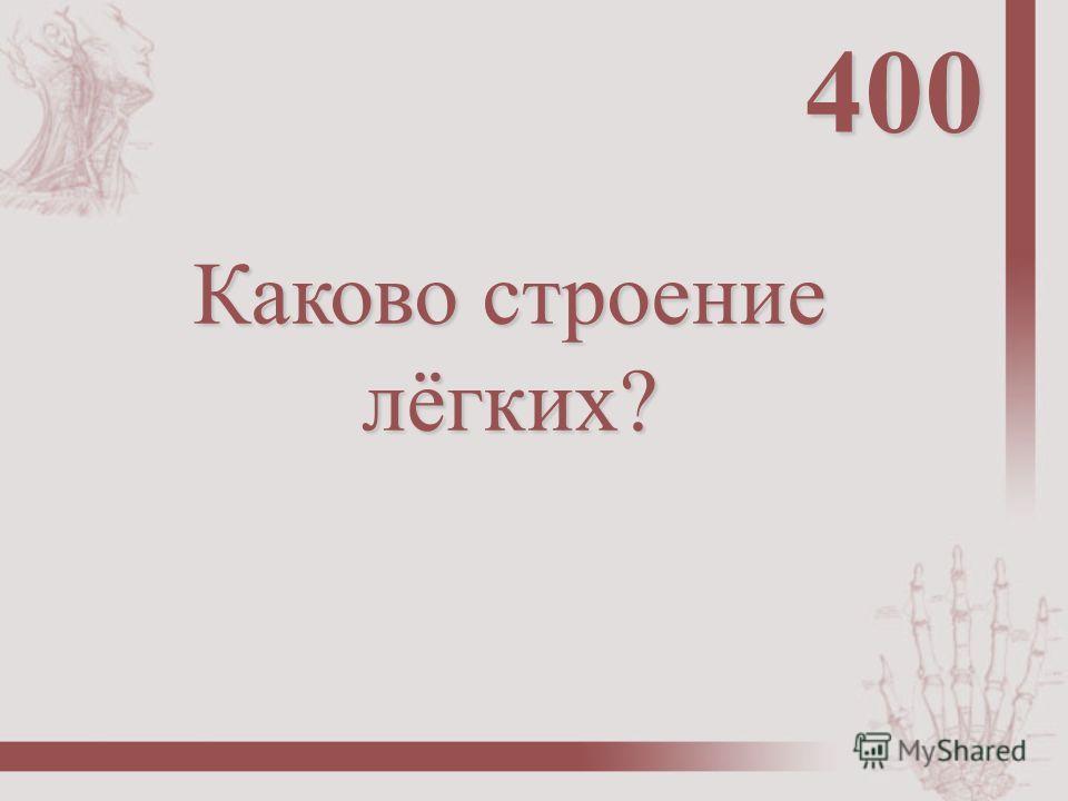 Каково строение лёгких? 400