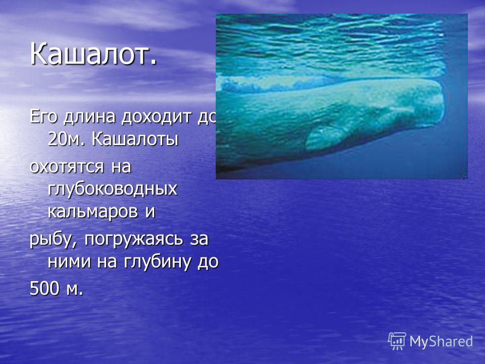 Кашалот. Его длина доходит до 20м. Кашалоты охотятся на глубоководных кальмаров и рыбу, погружаясь за ними на глубину до 500 м.