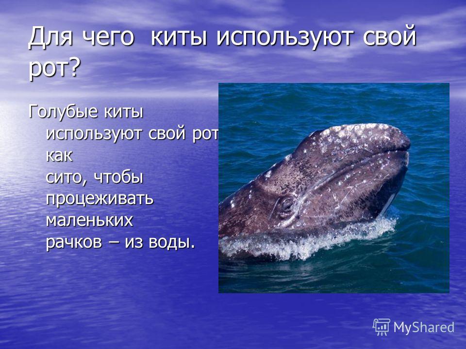 Для чего киты используют свой рот? Голубые киты используют свой рот как сито, чтобы процеживать маленьких рачков – из воды.