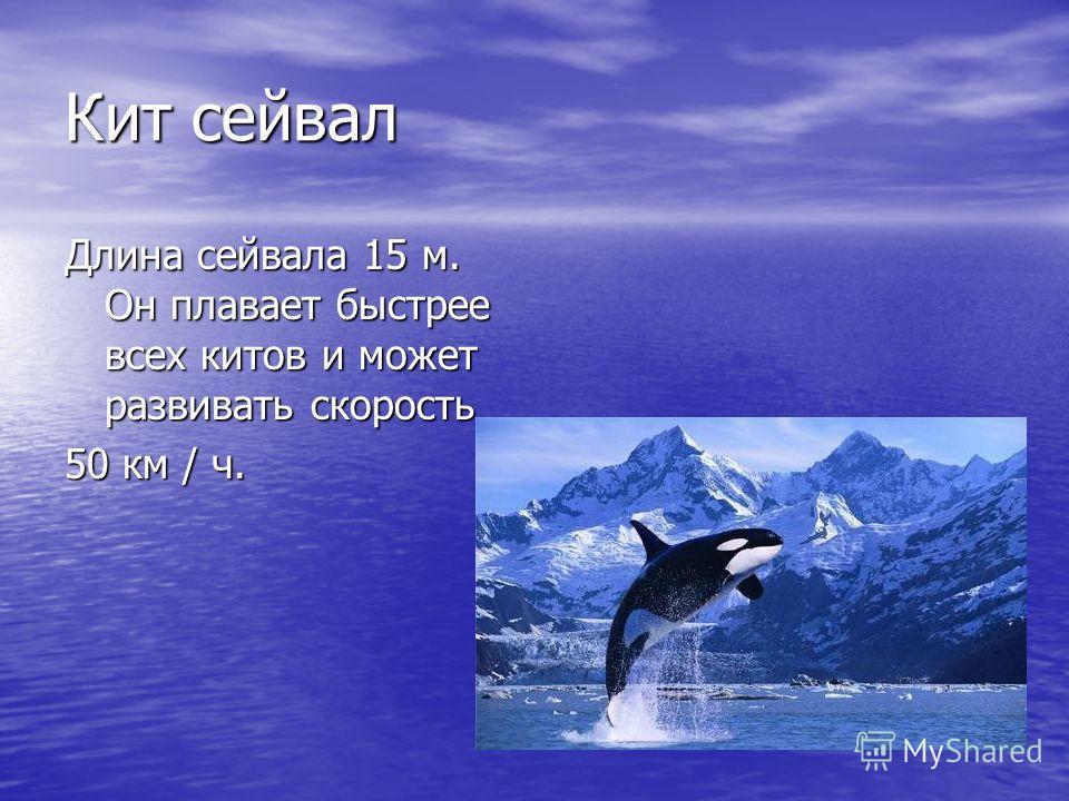 Кит сейвал Длина сейвала 15 м. Он плавает быстрее всех китов и может развивать скорость 50 км / ч.