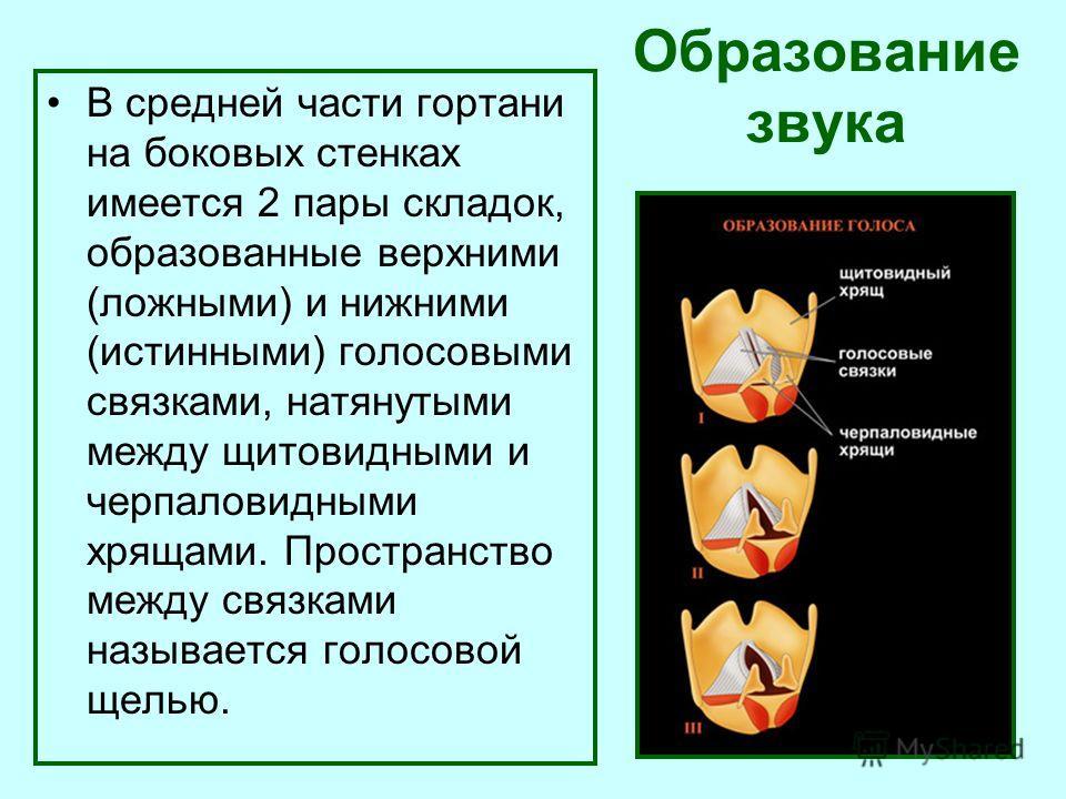 Образование звука В средней части гортани на боковых стенках имеется 2 пары складок, образованные верхними (ложными) и нижними (истинными) голосовыми связками, натянутыми между щитовидными и черпаловидными хрящами. Пространство между связками называе