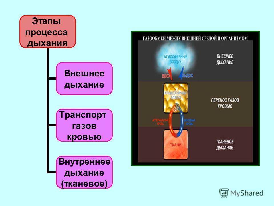 Этапы процесса дыхания Внешнее дыхание Транспорт газов кровью Внутреннее дыхание (тканевое)