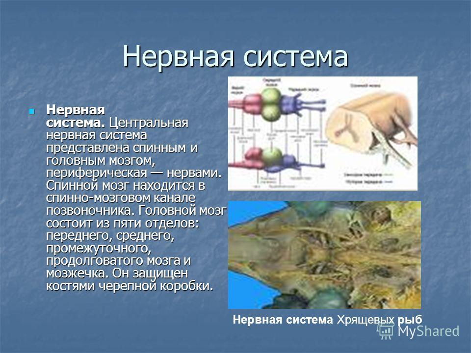 Нервная система Нервная система. Центральная нервная система представлена спинным и головным мозгом, периферическая нервами. Спинной мозг находится в спинно-мозговом канале позвоночника. Головной мозг состоит из пяти отделов: переднего, среднего, про