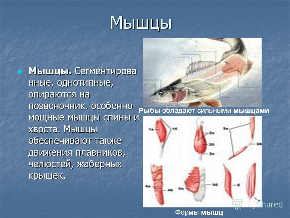 Мышцы Мышцы. Сегментирова нные, однотипные, опираются на позвоночник. особенно мощные мышцы спины и хвоста. Мышцы обеспечивают также движения плавников, челюстей, жаберных крышек. Мышцы. Сегментирова нные, однотипные, опираются на позвоночник. особен